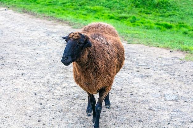 茶色の羊が道路に立って、かすめる
