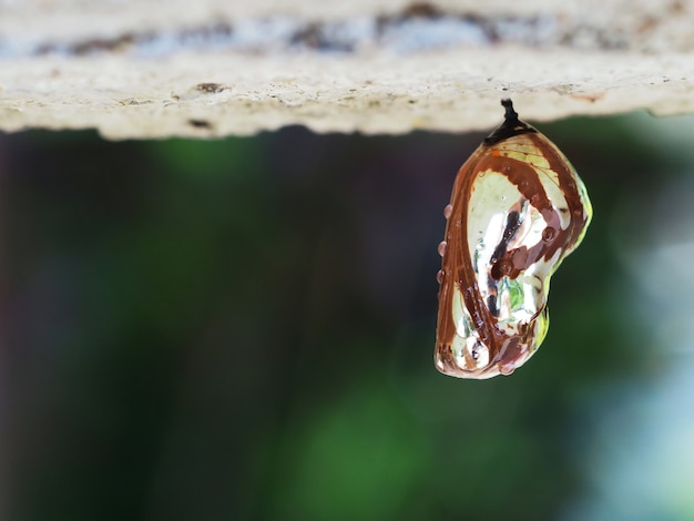 A brown and shining pupa