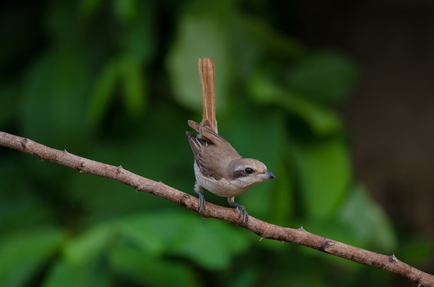 Brown shrike perching on a branch