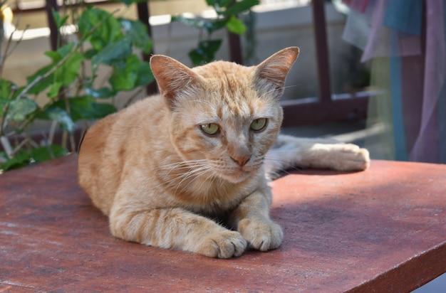 Коричневый сиамский кот сидит на столе.
