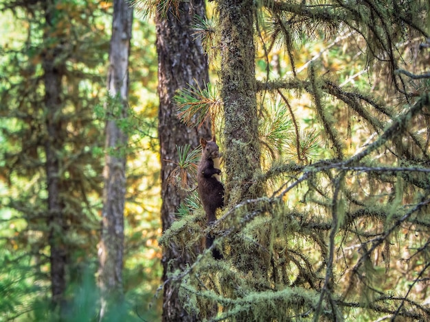 Brown siberian squirrel in the autumn forest.