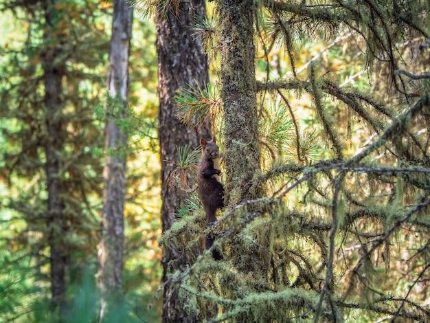 Бурая сибирская белка в осеннем лесу.