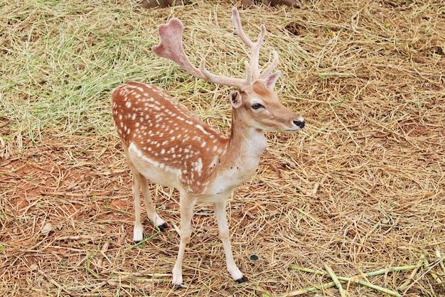 Brown sika deer