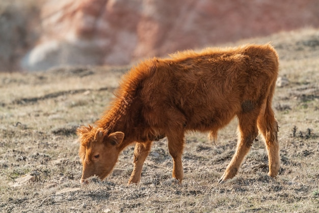 Brown skinny calf on a mountainside