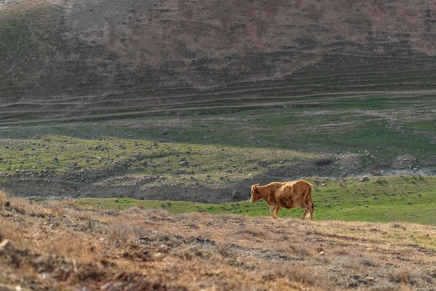 Brown skinny cow on a mountainside
