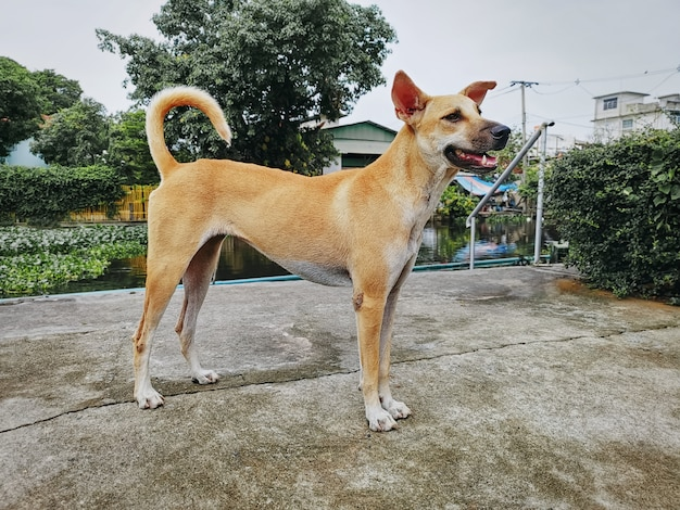 Brown skinny domestic stray dog standing and looking at something