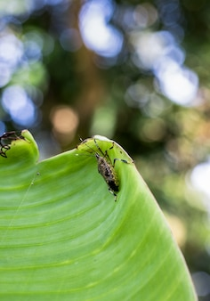 Коричневые маленькие жуки, сидящие на банановом листе