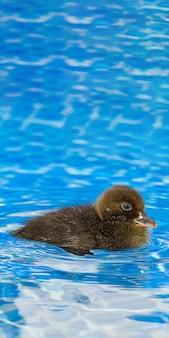 スイミングプールで茶色の小さなかわいいアヒルの子
