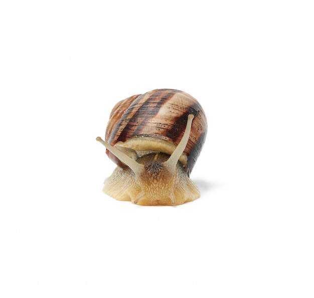 Brown snail isolated on white space