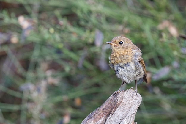 Brown song thrush bird perched by a lake in a park