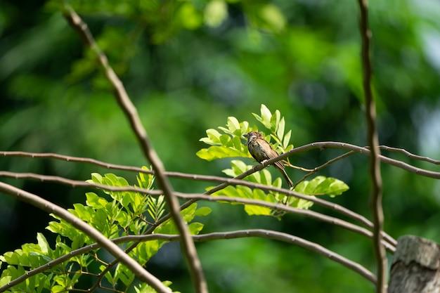 茶色のスズメの鳥は、暗いぼかし緑色の背景を持つ小さな枝にぶら下がっています。