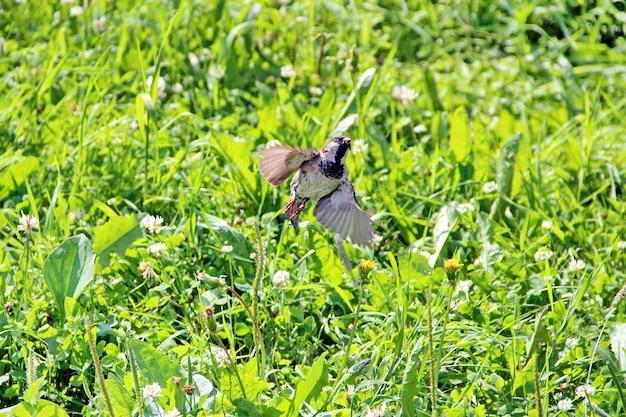 Коричневый воробей взлетает из зеленой травы крупным планом