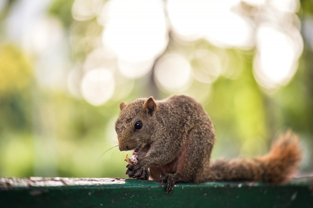 Brown squirrel eating peanut on table