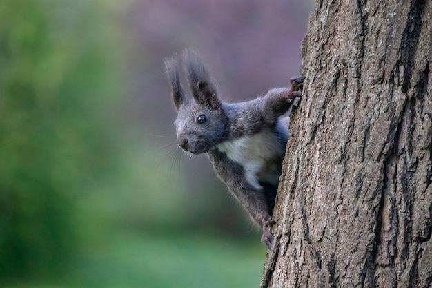Бурая белка осенью на дереве под зелеными листьями гуляет белка в парке