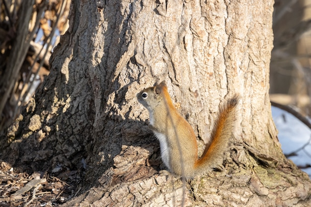 Коричневая белка, стоящая на дереве