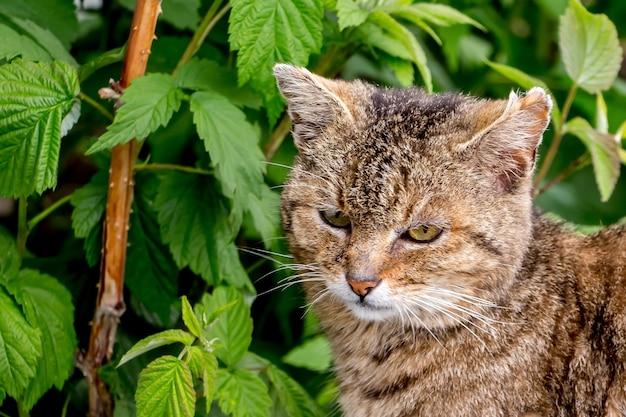 ラズベリーの茂みに囲まれた庭の茶色の縞模様の猫_