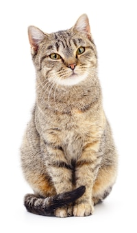 Brown striped cat isolated on white background