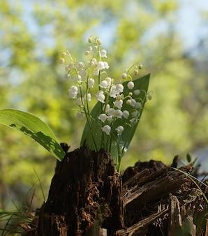 계곡의 흰 백합 꽃다발과 함께 갈색 그루터기