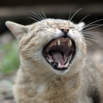 Brown tabby domestic cat yawning on blurred green yard