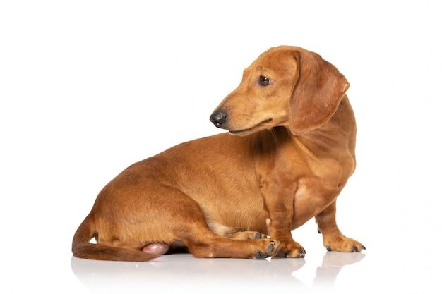 白地に茶色のテクケル犬