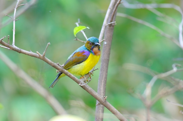 Brown-throated sunbird anthreptes malacensis beautiful male birds of thailand