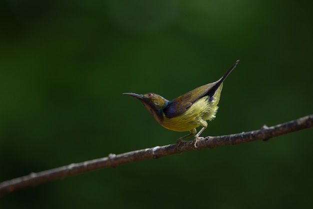 Brown throated sunbird is perching on branch