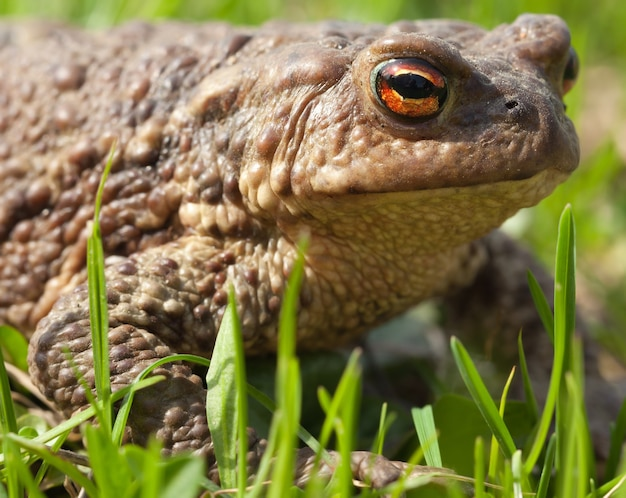 The brown toad with orange eyes sits in a green grass