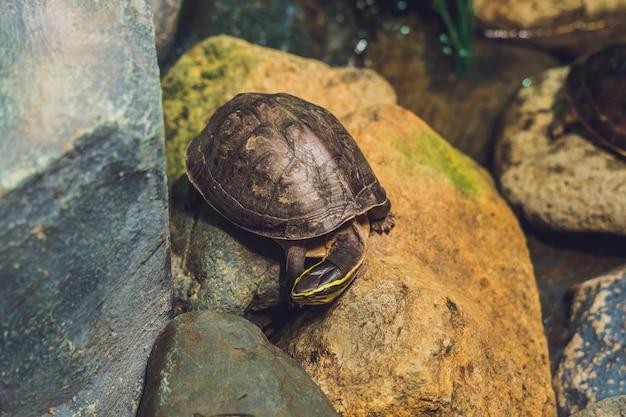 Коричневая черепаха, идущая по крупному плану каменной поверхности.