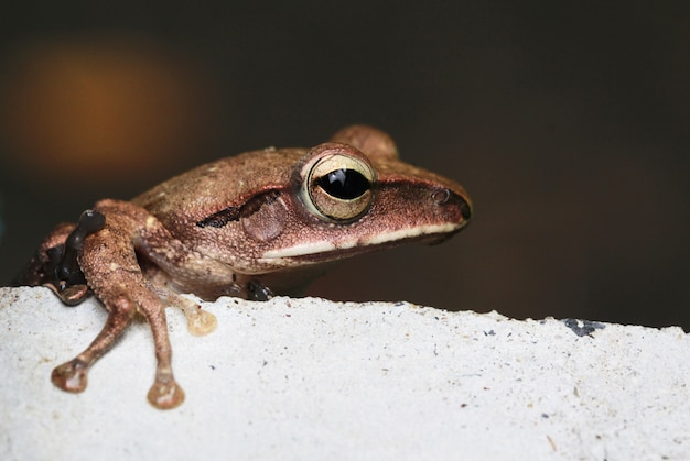 Brown tree frog (litoria ewingii)or common tree frog  on cement pond