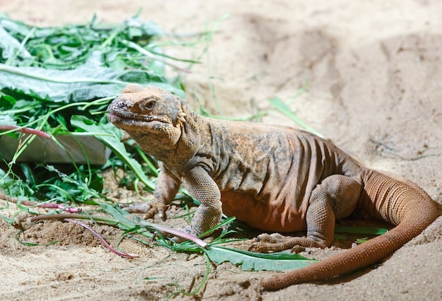 Коричневый варан ест листья на песке