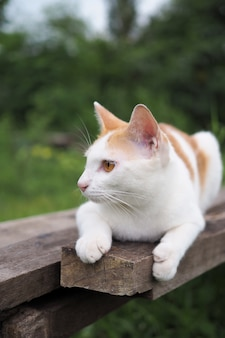 Brown and white cat thai on old wooden in nature landscape. blurred background