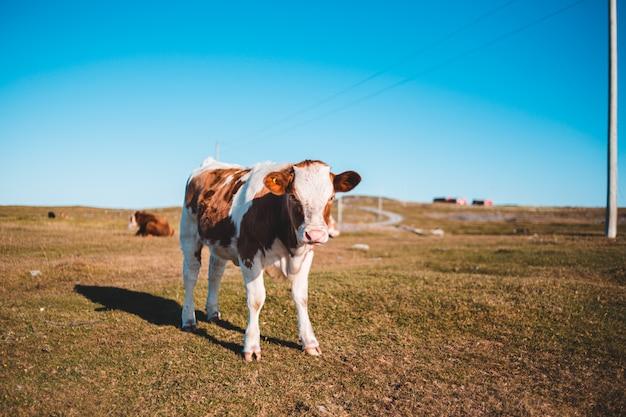 Mucca marrone e bianca che sta sul campo di erba