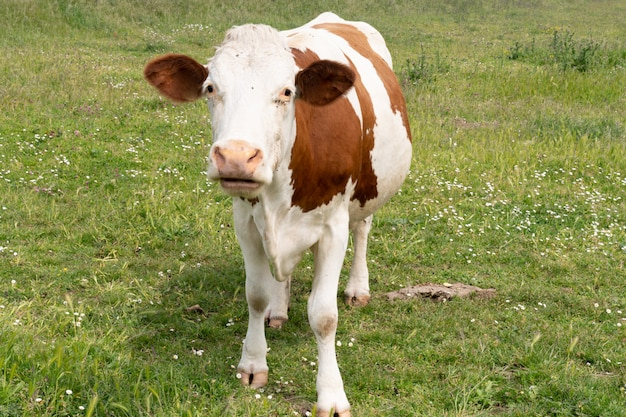 Brown white freckled cow on a pasture meadow looking