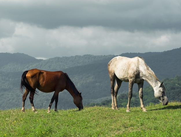 Brown and white full length horses grazing on meadow with green grass