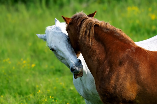Brown and white horse grazes in the meadow with love