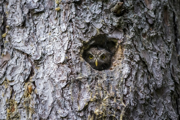Brown and white owl inside tree hole