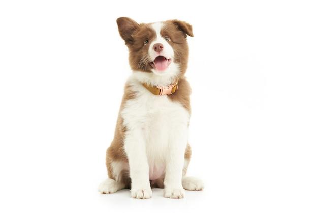 白い背景の上の茶色の白い子犬ボーダーコリー。高品質の写真