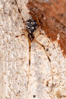 Brown widow of the species latrodectus geometricus