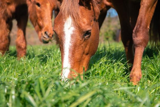 Коричневая дикая лошадь с белой полосой в голове пасется зеленая трава весной в загоне раю с безглазой лошадью на заднем плане