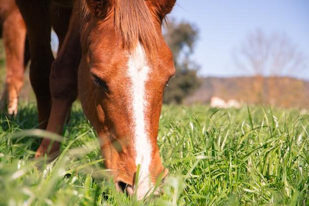 Коричневая дикая лошадь с белой полосой в голове пасется на зеленой траве весной в раю для загона