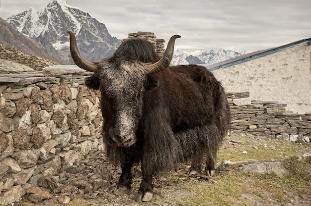 Brown yak in himalaya mountains