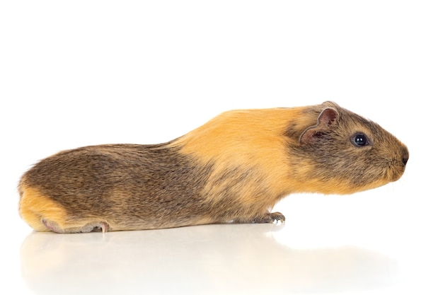 Brown and yellow guinea pig isolated on white