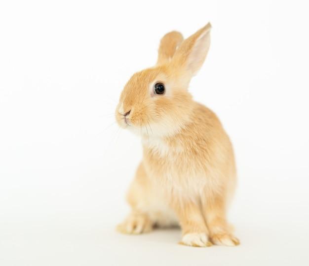 茶色黄色の小さな毛皮のようなウサギのバニー