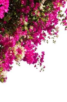 白い背景で隔離のブーゲンビリアの花の枝