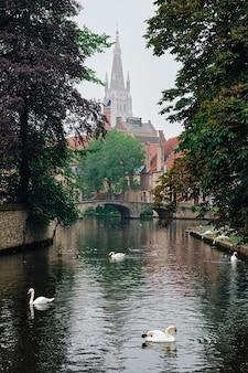 오래된 나무 사이에 하얀 백조가 있는 브뤼헤 운하와 배경 브뤼헤 벨에 성모 마리아 교회...