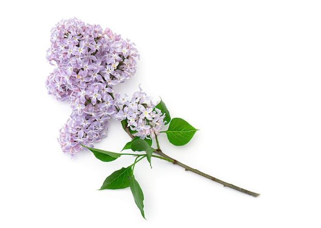 Brunch of blooming lilac isolated. violet, purple flowers of lilac, top view, spring picture.