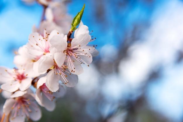 明るい青空の背景にリンゴの木の花のブランチ