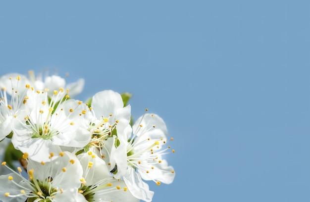 꽃이 만발한 봄 나무의 브런치. 흰 꽃과 복사 공간이 만발한 나무 브런치의 부드러운 이미지