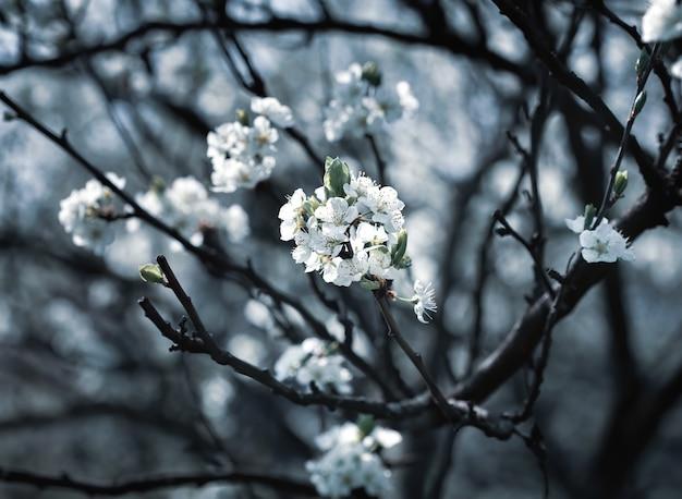 꽃이 만발한 봄 나무의 브런치. 흰색 꽃이 만발한 나무 브런치의 부드러운 이미지