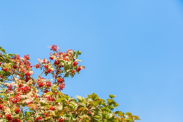 Brunches of red viburnum against clear blue sky with copy space. autumn harvest concept